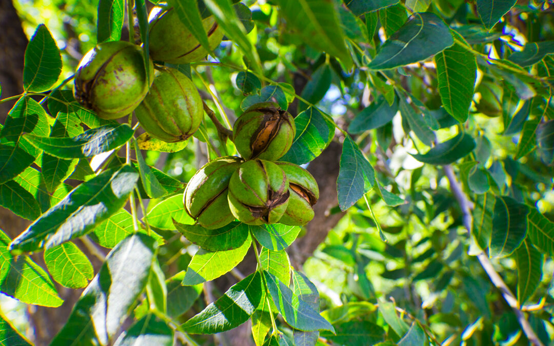 Texas Pecan Growers Marketing Webinar:  other ways to participate & contribute to the Texas Pecan Industry